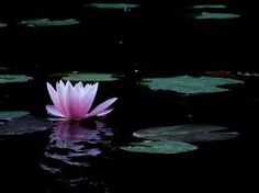 pink lotus blossom on a black pond