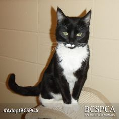 Hank is a ridiculously good looking, friendly cat and he even gets along with other felines! What's there not to love? Click to view Hank's adoption profile