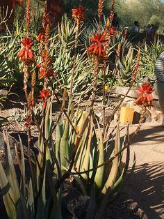 Los cacti floreciendo