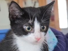 Tennessee is an adoptable Tuxedo Cat in New York, NY. Hi My name is Tennessee!! and I am an adorable tuxedo male kitten of only NINE WEEKS old I am with my siblings, but once held I love to cuddle and...