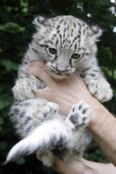 Baby snow leopard ♥, my favorite animal at the zoo!