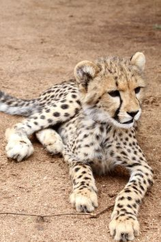funnywildlife:  Squee! Baby Cheetah #Kidepo here we come #VisitUganda