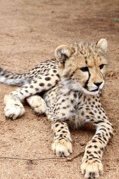 i LOVE cheetahs!!