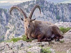 w-Inédita : Animales extintos podrían volver al mundo. El bucardo. El último bucardo se halló muerto el 5 de enero de 2000.