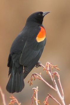 Red wing blackbird (