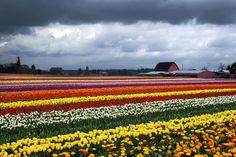 Skagit Valley Tulip Festival by Virginia Bailey Photography, via Flickr