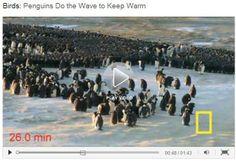 Penguin Huddle Video {1:43 minutes}