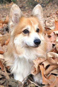 gorgeous fluffy corgi in leaves