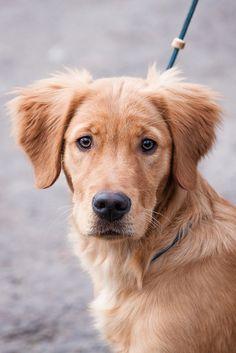 dog #golden #goldenretriever #dog
