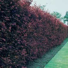 Prunus x cistena (Purpleleaf Sand Cherry) makes an interesting alternative hedging and provides an excellent plum colour in the garden.