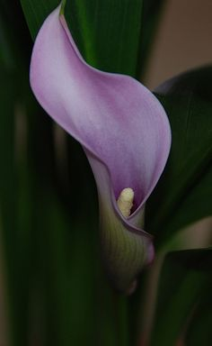 Lavender Calla Lily [Zantedeschia]  - Flickr - Photo Sharing