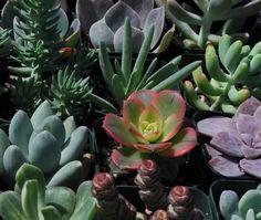 100 Succulent Plants Succulent Wedding Centerpieces Favors Bouquets. $115.00, via Etsy.
