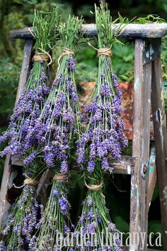 How to Harvest and Dry Lavender via www.gardentherapy.ca