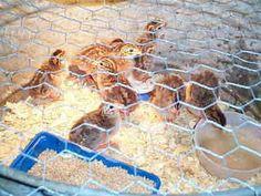 how to raise guinea hens