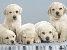 Lab puppies make me smile!