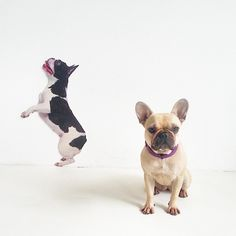 pixie_the_frenchie's