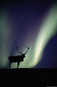 Alaskan wildlife & northern lights