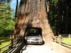 Drive through Chandelier Tree in Leggett, California