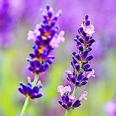 This lovely lavender is one of many edible and colorful plants. See more edible flower recipes @This Old House.com (Photo: Herbert Kehrer/Getty Images)