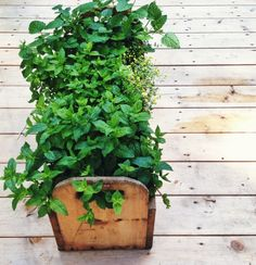 Portable mint garden for mojito parties | Simple Bites #gardening #upcycling