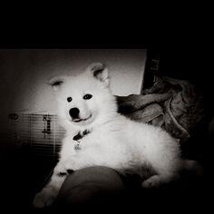 My Samoyed puppy Konah