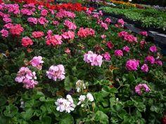 Flowers from Phantom Farms, Cumberland RI: http://visitingnewengland.com/roadside-farm-stand-ri-apples.html #flowers #phantomfarms