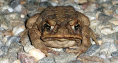 cane toad ~~ !p4ul/Flickr (CC BY-NC 2.0)