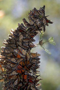 Amazing cluster of monarch butterflies. #butterflies