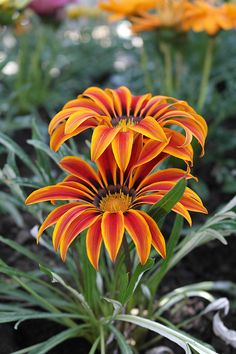 Gazania Flower, only opens in the sunshine!