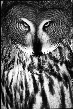 Owls are my favorite feathered friend - the simplicity of black and white brings out the intricate designs in his feathers.