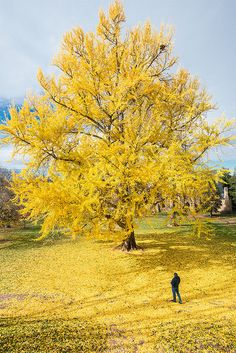 The yellow Tree.  Pratt Ginkgo biloba tree at University of Virginia