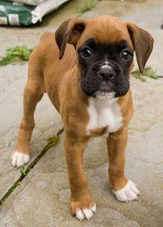 boxer <3