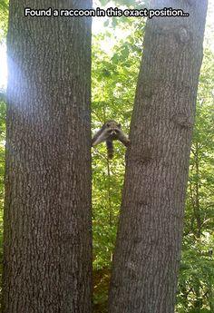 Raccoon doing an epic split… Animal Pics, Morning Yoga, Van, Funny Pics, Tree Trunks, Ninja, Funni, Tom Cruise, Raccoons