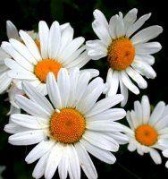 daisi chrysanthemum, bulk flower, favorit flower, favorit thing, daisies, cut flowers, garden, bulk daisi, friendliest flower