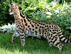 Savannah Cats. They walk on leashes and are huge! UGH IMAGING WALKING ONE OF THESE BABIES DOWN THE STREET.