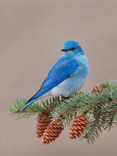 Beautiful male bluebird by Dan Harbour :)