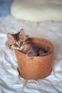 Beautifully Coloured Kitten In A Basket