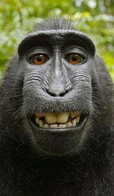 An endangered macaque monkey grabs camera, takes self-portrait.