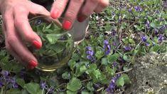 Wild Violets (Viola Odorata)