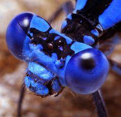 A blue damselfly