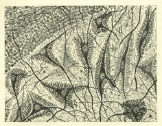 Neurons, by Santiago Ramón y Cajal, ca. 1900  (via GALLERY: Images from Cajal's Butterflies of the Soul : The Beautiful Brain)