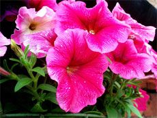 Caring for Petunias