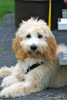 One very cute Golden doodle