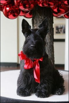 Christmas Scottie Puppy #Scottish Terrier Pup #Holiday #Dogs