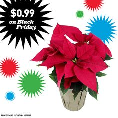 Shop Lowe's for great Black Friday prices on poinsettias!