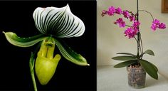 (L) Slipper and (R) Phalaenopsis The National Capital Orchid Society 66th Fall Show and Sale at Behnke Nurseries