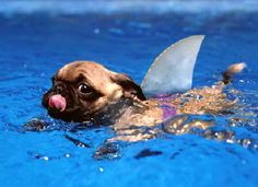 anim, puppies, dogs, pool, pet, pugs, sharks, shark week, swimming