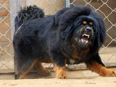 The Most Expensive Dog: Red Tibetan Mastiff (DAT Price Tag) - NeoGAF