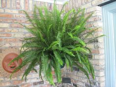 Kimberly Queen Fern - Nephrolepis obliterata