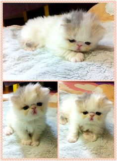 marshmallow, kitten, cat